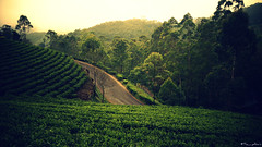 Between (the_yellow) Tags: munnar green kerala tamilnadu india nature travel sonyslta58 sony alpha58 hills hill hilltop cloudy foggy tea teaplantation