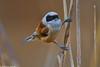 Penduline Tit - Chapim-de-mascarilha (anpena) Tags: birds passerines tits pendulinetit