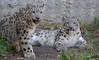 Snowy Siblings (greekgal.esm) Tags: snowleopard snowleopardcub cub babyanimal siblings cat feline animal mammal carnivore marai meru losangeleszoo lazoo losangeles griffithpark california sony rx10m3 rx10iii