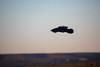 A raven soars over the Grand Canyon. Photographed at Lipan Point on the South Rim. (apardavila) Tags: arizona grandcanyon grandcanyonnationalpark lipanpoint southrim bird nationalpark raven sky