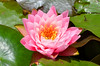 Nymphaea Pink (explored) (bevanwalker) Tags: lily 18140mm lens d7000 nikon pink nymphaea