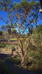 N20171228-0008—Adenostoma sparsifolium—RPBG (John Rusk) Tags: ebparksok taxonomy:kingdom=plantae plantae taxonomy:subkingdom=tracheophyta tracheophyta taxonomy:phylum=magnoliophyta magnoliophyta taxonomy:class=magnoliopsida magnoliopsida taxonomy:order=rosales rosales taxonomy:family=rosaceae rosaceae taxonomy:genus=adenostoma adenostoma taxonomy:species=sparsifolium taxonomy:binomial=adenostomasparsifolium adenostomasparsifolium redshanks paloamarillo ribbonwood taxonomy:common=redshanks taxonomy:common=paloamarillo taxonomy:common=ribbonwood