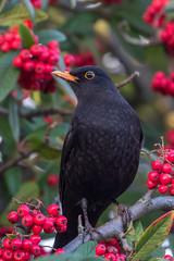 blackbird (colin 1957) Tags: chats blackbird berries