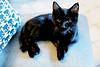 Mischa from Ottawa (kirstiecat) Tags: cat feline meow kitten ottawa felinefeline cafecanadablack kitty caturday purr vegan vegetarian cc100