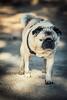 Wonder Pug (jarrardphotography) Tags: blind eyeless dog creativeegghead pug hund fiona perrot wonderpug
