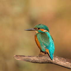 Kingfisher in the afternoon sun, River Don, Sheffield. (Brent Hardy) Tags: alcedoatthis bbcwinterwatch bbcspringwatch lepustimidus nationalgeographicwildlife myautumn wildlife peakdistrict canonef400mmf56lusm uk canon