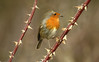 Robin- (Mick Lowe) Tags: perched thorns robin erithacus rubecula