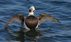 The Conductor (Slow Turning) Tags: clangulahyemalis longtailedduck male bird displaying wings flapping winterplumage water lake splash autumn southernontario