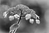 Samthortensie (efgepe) Tags: 2017 objektivtest oktober hortensie hydrangea hydrangeaaspera samthortensie bw sw silverefexpro pentaxk1 pentax 200mm blackwhite schwarzweiss nik pflanzen