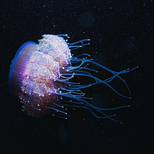 Cauliflour Jellyfish, Cephea cephea, Red Sea