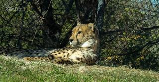 Cheetah- Dallas Zoo