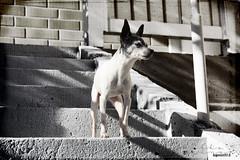 Summer. (53Hujanen) Tags: lappeenranta suomi finland scandinavia skandinavia kesä summer eläin animal koira dog dogportrait toy toyfoxterrier amerikankääpiöterrieri canon canoneos450d canonefs1855mmf3556isstm kitlens tekstuuri texture