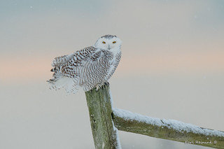 Snowy on a post