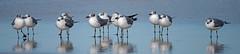 Beach buddies (Robert R Grove 2) Tags: beach gulls buddies friends birds feather group flock crowd wildlife 11 eleven many legswater ocean robertrgrove