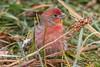 IMG_6180 red finch (starc283) Tags: flickr flicker starc283 wildlife bird birding birds finch redfinch canon canon7d outdoors outdoor