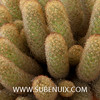 Mammillaria elongata-3 (SUBENUIX) Tags: cactaceae mammillariaelongata suculentas subenuix subenuixcom planta suculent suculenta botanic botanical