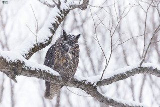 ''Le roi Hibou!'' Grand-duc- Great Horned Owl