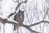 ''Le roi Hibou!'' Grand-duc- Great Horned Owl (pascaleforest) Tags: oiseau bird animal nikon nature passion owl hibou neige snow hiver winter forêt forest wood wild wildlife faune arbre ambiance nationalgeographic prédateur predator