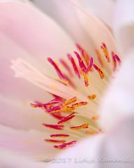 Bitterroot (Lidija Kamansky) Tags: washingtonstate bitterroot flower lewisiarediviva macro nature perennial plant uncultivated wildflower