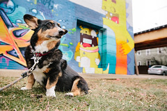 Street Art Stroll (Brian.Buckler) Tags: corgi dog cute pembroke chicago street art graff graffiti logan square city il canon 5d