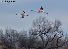 Contraste...(Parc ornithologique Pont de Gau - Camargue - Bouches du Rhône - 5 mars 2016) (Carnets d'un observateur de la nature du Sud de la) Tags: flamantrose camargue pontdegau bouchesdurhône provence nature biodiversité