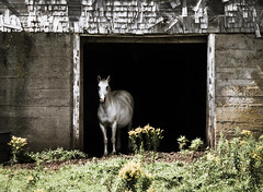 And There She Was (EXPLORED) (Katrina Wright) Tags: musquodoboit ns novascotia monochrome horse barn decrepit broken shingles white mare animal shadow desaturated cold dsc43003
