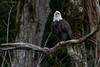 Eagle on an Old Snag (elliott845) Tags: baldeagle eagle bird animal nature wildlife birdofprey raptor majestic washington pacificnorthwest pnw washingtonstate cascades skagit skagitriver