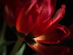 Christmas Tulip (Smiffy'37) Tags: tulip flower macro closeup red drama portrait light sundaylights