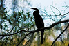 Ahninga Silhouette (ap0013) Tags: ahninga bird birding nature silhouette wildlife animal circle b bar reserve lakeland florida fla fl circleb lakelandflorida