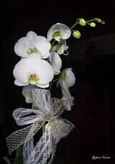 Orchidee 2 (Roberto Carlon) Tags: orchidea fiore naturamorta orchid flower stilllife