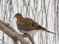 Mourning Dove (starmist1) Tags: dove mourningdove willow branch limb whip perch weepingwillow december winter