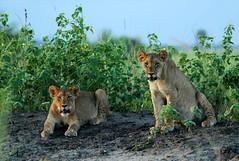 Sundowners (zimbart) Tags: mozambique africa gorongosanationalpark fauna vertebrata mammals carnivora felidae panthera pantheraleo