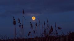 The Wolf Moon (davepickettphotographer) Tags: moon wolf uk huntingdonshire landscape cambridgeshire buckden village night evening moonlight supermoon fullmoon oldmoon navtiveamerican januaryfullmoon
