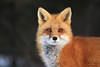 Best Of 2017 (Megan Lorenz) Tags: redfox fox vixen female animal mammal nature wild wildlife wildanimals algonquinprovincialpark ontario canada mlorenz meganlorenz
