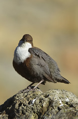 cingle plongeur (Doriane Boilly Photographie Nature) Tags: cingle plongeur rivière cascade birds