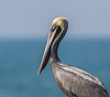 Brown Pelican (Pelecanus occidentalis) (NigelJE) Tags: brownpelican pelican pelecanus pelecanusoccidentalis pelecanidae nigelje playalinda zihuatanejo guerrero mexico