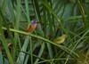 Painted Buntings (Nick Scobel) Tags: passerina ciris painted bunting rainbow colors florida green cay passerine songbird gorgeous birding