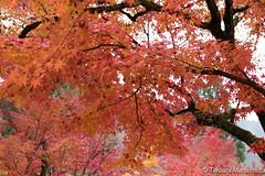 Eikando (takashi_matsumura) Tags: kyōtoshi kyōtofu japan eikando zenrinji sakyoku kyoto ngc nikon d5300 autumn fall leaf color
