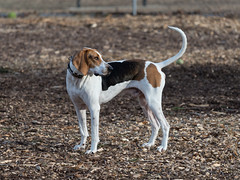 Handsome Hound (repete7) Tags: mammal dog blacksburg virginia unitedstates us dogpark canon6dmarkii canon70300isiiusm