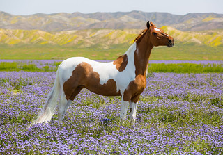 815A2711 Horse in a field of blue