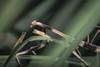 Mantis (PaulBalfe) Tags: praying mantis