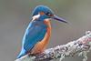 Kingfisher (drbut) Tags: kingfisher alcedoatthis river pool fish bird birds nature wildlife outdoor canonef500f4lisusm