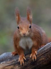 Ecureuil roux (guiguid45) Tags: nature sauvage animaux mammifères forêt loiret d810 nikon 500mmf4 écureuilroux squirrel écureuil eurasianredsquirrel affût