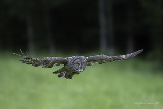 As the night is falling- Great Gray Owl Hunting ....for real