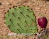 Opuntia engelmannii-6 (SUBENUIX) Tags: cactaceaeopuntias opuntiaengelmannii suculentas subenuix subenuixcom planta suculent suculenta botanic botanical