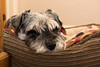 Fed up waiting.... (Matts__Pics) Tags: waiting fedup sleepy dog basket