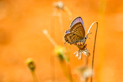 (Aiel) Tags: butterfly bangalore bengaluru insect blue bidadi innovativefilmcity flower dry