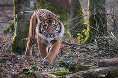 the tiger (rondoudou87) Tags: tigre tiger sumatrantiger sumatra pentax k1 parc park parcdureynou zoo nature natur wildlife wild smcpda300mmf40edifsdm sauvage eyes yeux tree arbre forêt forest da300