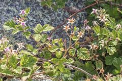 Rubus parvifolius (Tindo2 - Tim Rudman) Tags: exif:model=canoneos760d exif:aperture=ƒ71 geo:country=australia camera:make=canon camera:model=canoneos760d exif:lens=ef100mmf28lmacroisusm exif:focallength=100mm geo:state=tasmania plantae rosales rosaceae rubus rubusparvifolius nativeraspberry taxonomy:kingdom=plantae taxonomy:order=rosales taxonomy:family=rosaceae taxonomy:genus=rubus taxonomy:binomial=rubusparvifolius geo:location=bicheno exif:isospeed=200 exif:make=canon arfp trfp vrfp nswrfp qrfp subtropicalarf littoralarf galleryarf dryarf warmtemperatearf cooltemperatearf arfcp arfflowers pinkarfflowers buds leaf