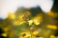 Shine. (lakeside_cat) Tags: lycaenaphlaeas butterfly shine light flower yellow yellowflower